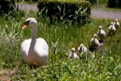 白鳥の行進