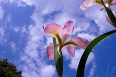 空へ花菖蒲