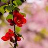 桜に続いて