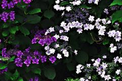 紫陽花の花 色違い&設定間違い