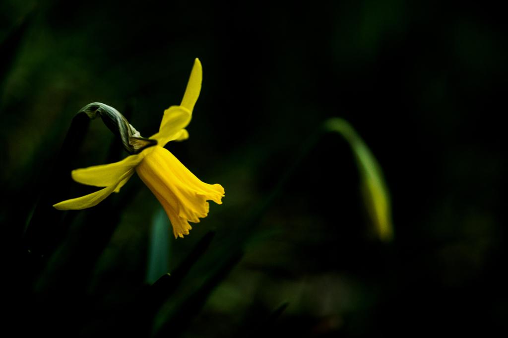 黄色のスイセン