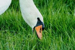 白鳥は草が好き