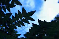 山椒の木蔭で空を見上げて