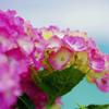 海辺の紫陽花