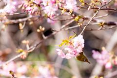 花から花へ メジロ