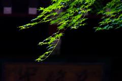 本土寺ー6 5月の紅葉