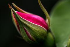 まだつぼみ もうすぐ花