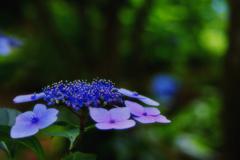 木陰に紫陽花の花