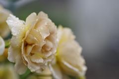 肌色のバラ