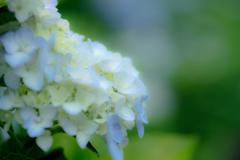 雨待ちの紫陽花