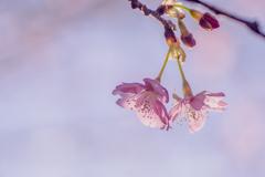 桜の花 風に吹かれても