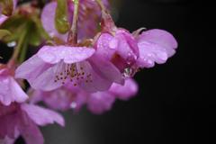 雨上りの桜花