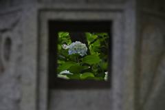 『額』紫陽花