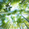 竹林に響くパンダの足音