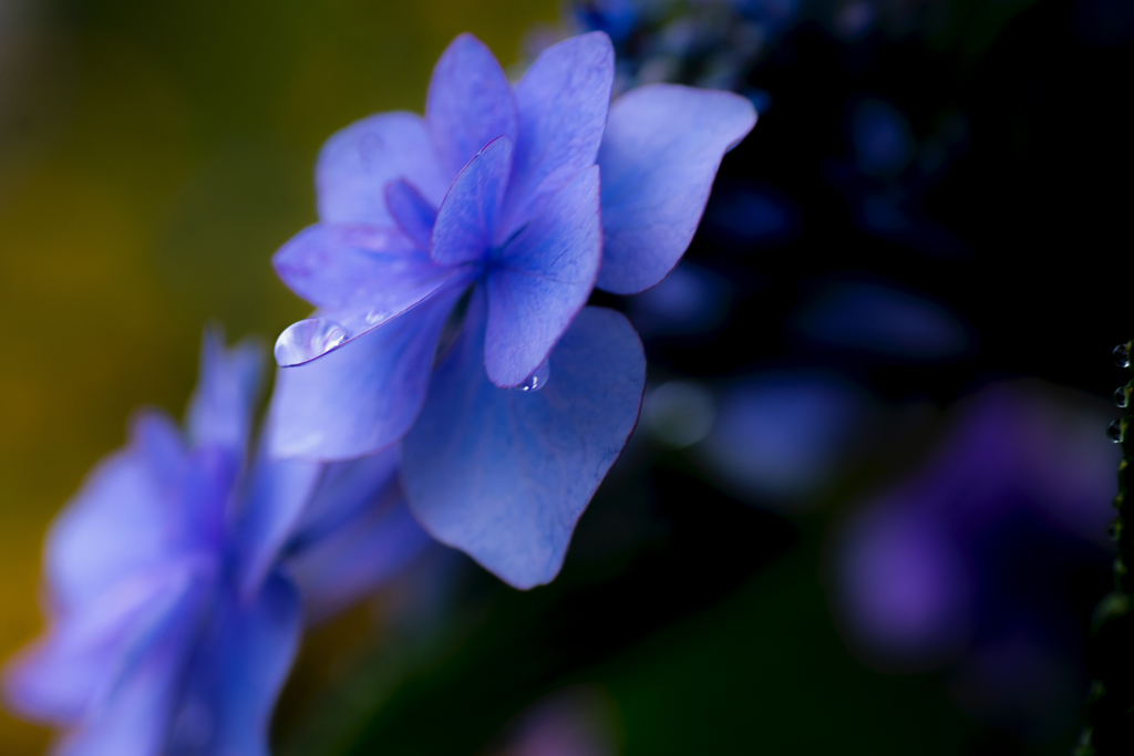 紫陽花と雫