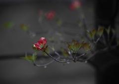しっとり花水木