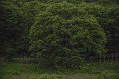 ホタルの樹