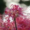 有明の花(4)