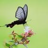 夏の蝶(1)