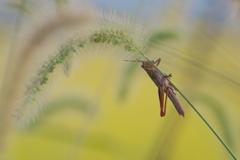 稲虫(2)