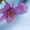 春待ち小紅(3)