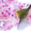 桜夢中(2)
