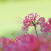 有明の花(2)