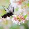 夏の蝶(3)