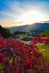 花桃と朝日