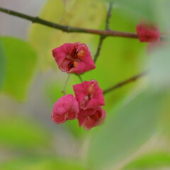 マユミ(檀)の果実