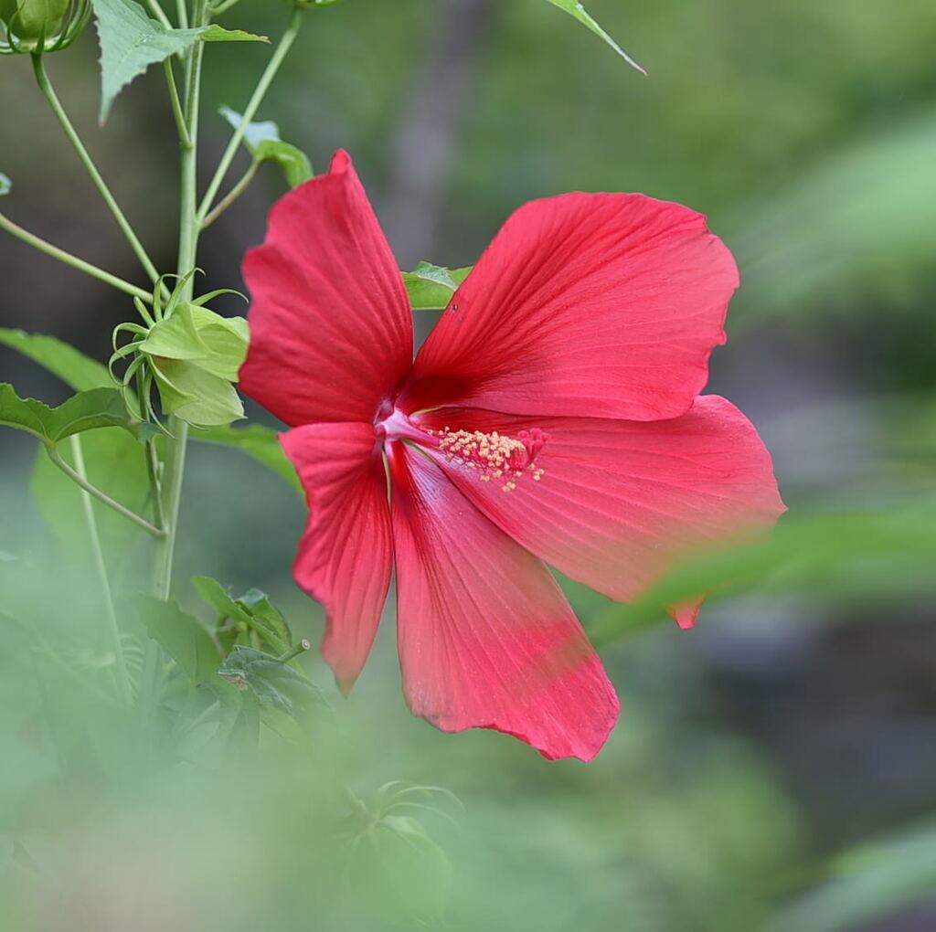モミジアオイ(紅葉葵)赤