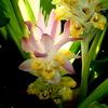 ウコン(鬱金)の花