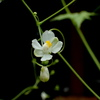 フウセンカズラ(風船葛)の花