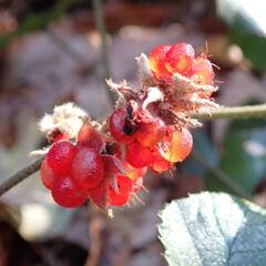 フユイチゴ(冬苺)