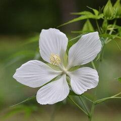 モミジアオイ(紅葉葵)白
