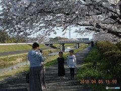 間違いました、平成桜です