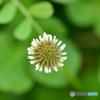 クロ-バの花