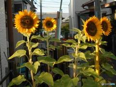遅植えの向日葵