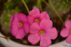 ピンクの雑草