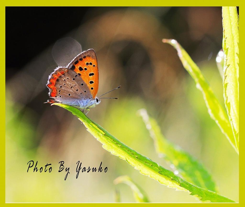 庭の生き物(ベニシジミ蝶)