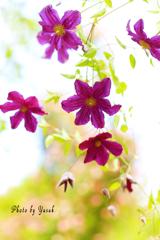 庭の花(クレマチス)