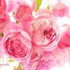庭の薔薇(アランティッチマーシュ)