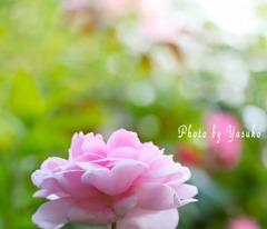 庭の薔薇(ワイフオブバス)