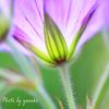 庭の花(ゲラニューム ジョンソンブルー)