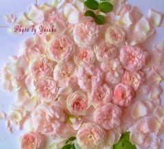 庭の薔薇(フンションロウ)