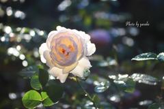 庭の薔薇(シャリファアスマ)