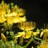 黄金色の花糸