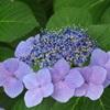 四天王寺の紫陽花⑥