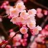 蜂須賀桜-四天王寺