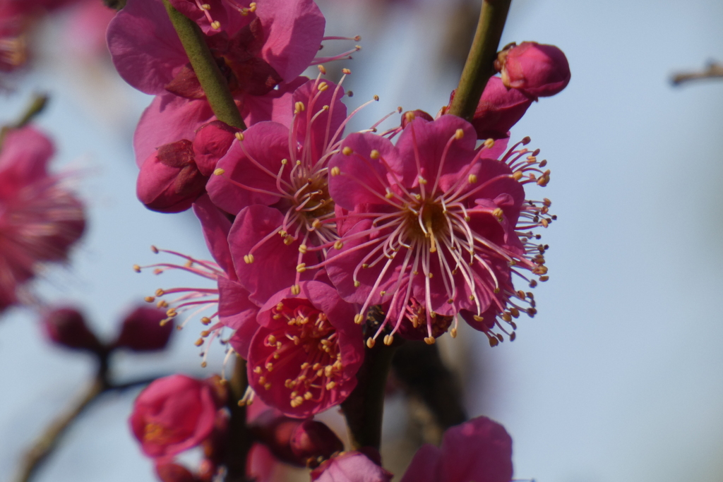 慶沢園の紅梅